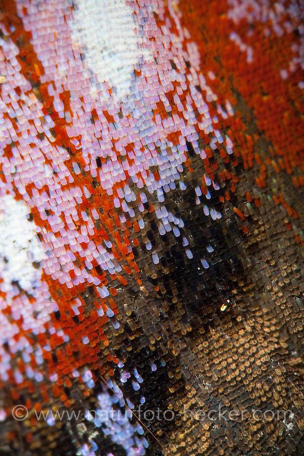 Tagpfauenauge, Flügel eines Schmetterling mit Schuppen, Schmetterlingsflügel, Flügelschuppen, Flügelschuppe, Tagpfauenauge, Tag-Pfauenauge, Aglais io, Inachis io, Nymphalis io, peacock moth, peacock