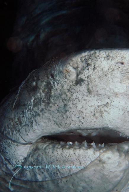 Dead Bull Shark, Carcharhinus leucas, Capt.Tony's Wreck, Boynton Beach, FL