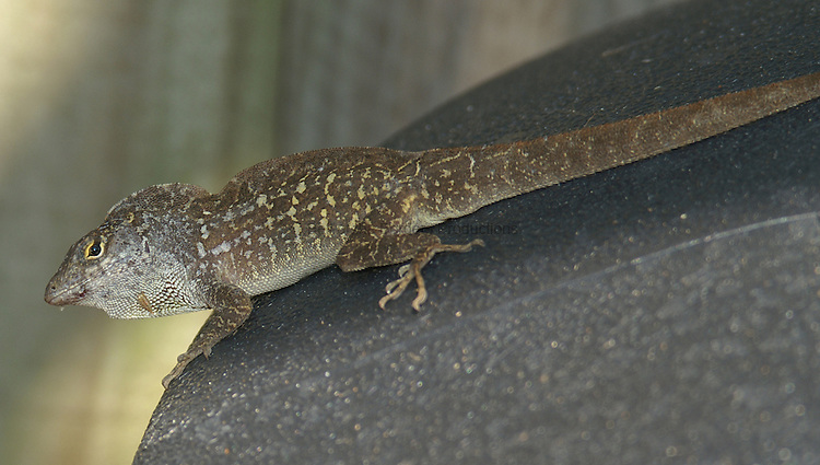 The Cuban Brown Anole is an exotic species that is slightly larger than the native species inthe same niche and is out competing the Green Anole is most habitats.
