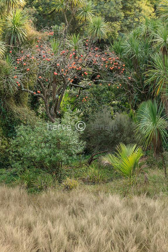 Domaine du Rayol en novembre : le jardin de Nouvelle-Zélande, un kaki (Diospyros kaki) et ses fruits oranges entouré de cordylines australes et prairie de stippes (Stippa tenuifolia).