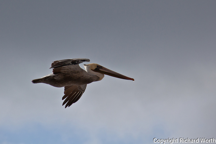 A brown pelican soars by along the Pacific coast.  The brown pelican was recently removed from the endangered species list (November 2009) only to suffer a major setback after the Gulf of Mexico oil spill.