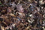Fallen oak tree leaves forming leaf litter seen from above, UK