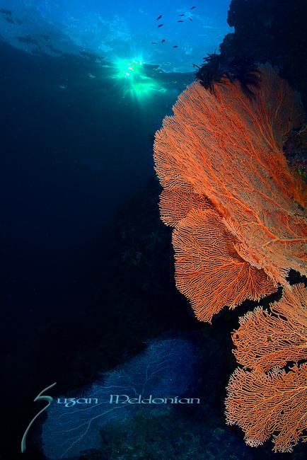 Red Sea fan at sunset, Larantuka, eastern end of Flores Island, East Nusa Tenggara, Indonesia. ,
