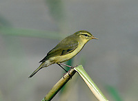 Willow Warbler Phylloscopus trochilus L 11cm. Similar to Chiffchaff but separable using subtle plumage details, colour and voice. Sexes are similar. Adult has olive-green upperparts, yellow throat, whitish underparts and pale supercilium. Overall, plumage is brighter than Chiffchaff and primary feathers project further. Note pale supercilium and pinkish yellow legs. Juvenile is similar but paler and more yellow, particularly on underparts. Voice hueet call is similar to Chiffchaff. Song is a tinkling, descending phrase that ends in a flourish. Status Widespread and common summer visitor to wooded habitats including birch woodland and willow scrub.