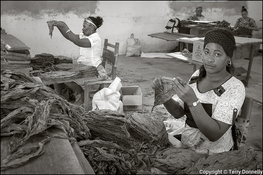 Pinar del Rio, Cuba:<br /> Cigar factory room with worker sorting tobacco leaves