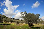 Israel, Mount Carmel, an Olive grove by Carmel Scenic Road