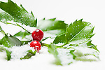 USA, Illinois, Metamora, Studio shot of holly covered with snow