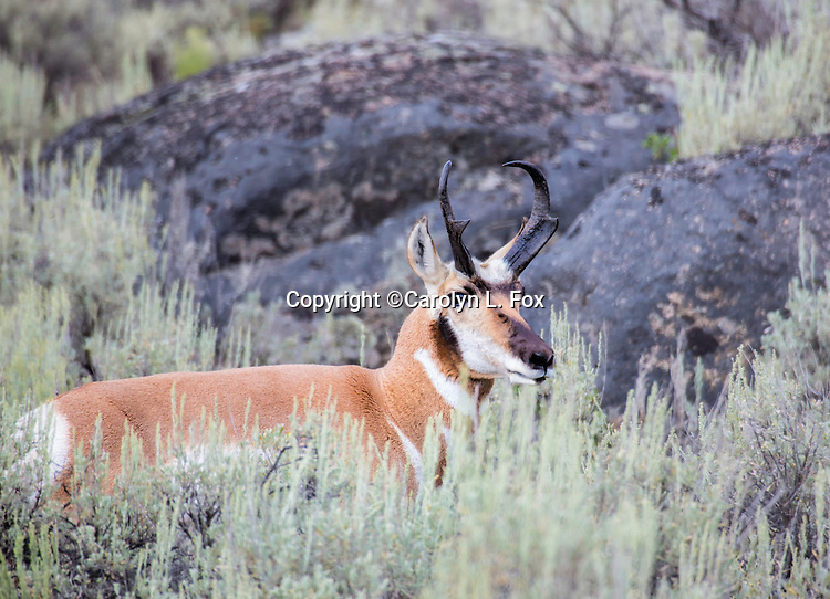 A male pronghorn antelope stands amid the sagebrush in Lamar Valley in Yellowstone National Park.
