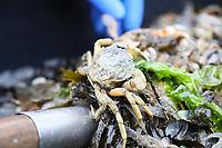 Taschenkrebs aus der Nordsee - 16.08.2018: Fischfang und Rundfahrt von Neuharlingersiel