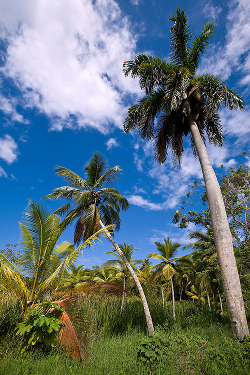 Beautiful palm trees in jungle setting along path near Playa Bonita, Las Terranas, Samana, Dominican Republic