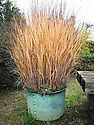 Panicum virgatum 'Shenandoah' in copper container, Marchants Hardy Plants, East Sussex, late October.