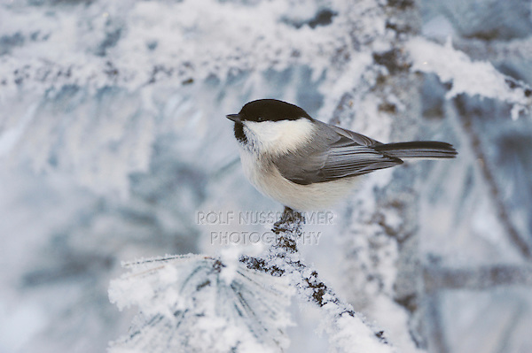 Willow Tit (Parus montanus), adult on frost covered  Swiss Stone Pine by minus 15 Celsius, St. Moritz, Switzerland, Europe