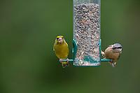 Kleiber und Grünfink, an der Vogelfütterung, Fütterung am mit Körnern gefüllten Futtersilo, Körnerfutter, Spechtmeise, Sitta europaea, Eurasian nuthatch, Grünling, Grün-Fink, Chloris chloris, Carduelis chloris, greenfinch. Ganzjahresfütterung, Vögel füttern im ganzen Jahr