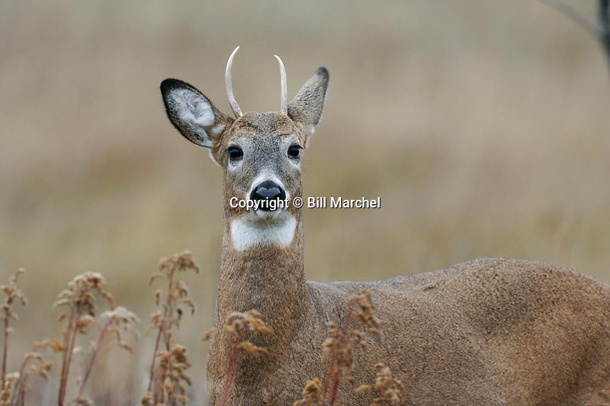 00274-323.03 White-tailed Deer Buck with small spike antlers is in goldenrod meadow during fall.  Hunt, prairie, antlers, young.  H7L1
