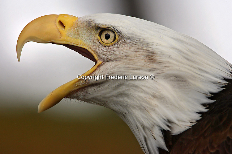 """John Aikin, director of conservation at the San Francisco Zoo holds """"Sequoia"""" an American Bald Eagle."""