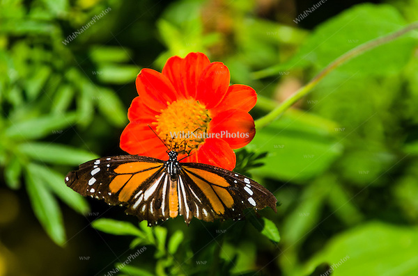 A Black-veined Tiger butterfly (Danaus melanippus) feeding on an orange flower. (Cambodia)