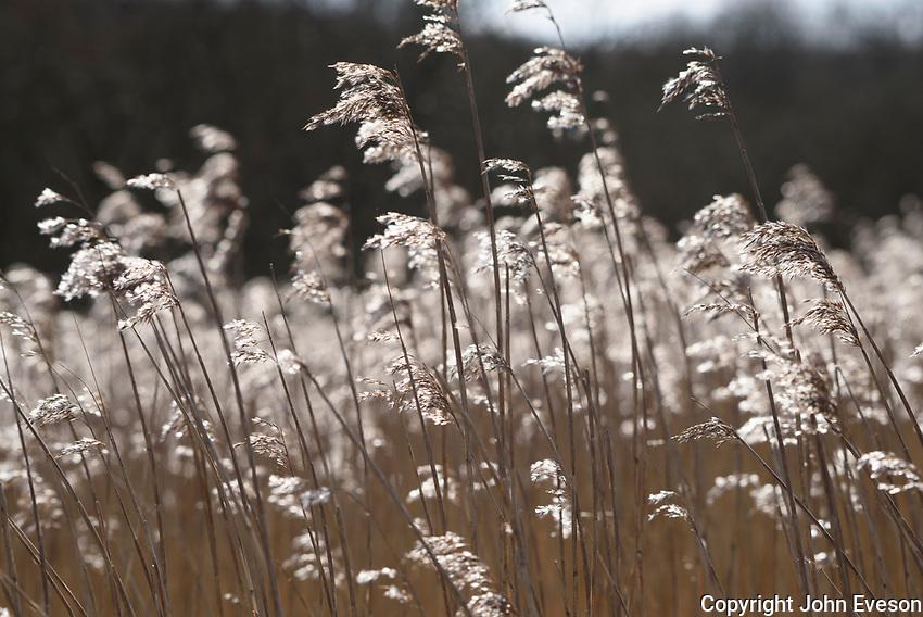 Reeds at Leighton Moss RSPB nature reserve, Lancashire.