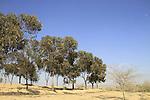 Israel, Shephelah, Eucalyptus trees in Dudaim forest
