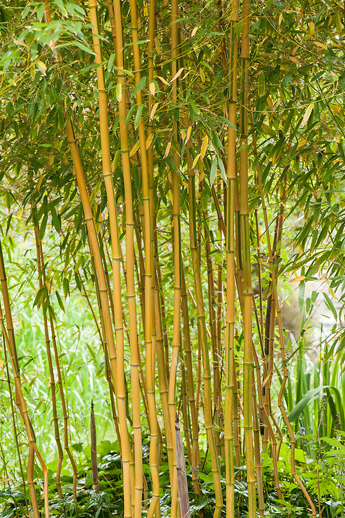 Phyllostachys aureosulcata f. aureocaulis (syn. Phyllostachys aureosulcata 'Aureocaulis'), late May. Commonly known as Yellow-groove bamboo.