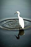 Snowy Egret, Myakka River State Park, Florida