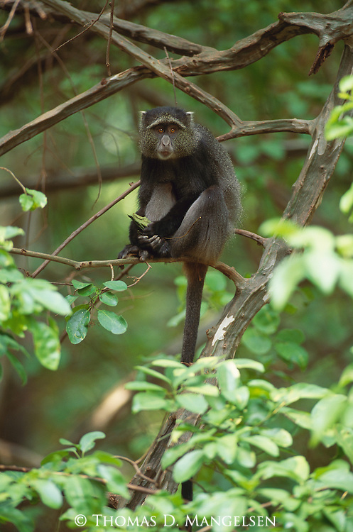 A blue monkey sits on a tree branch in Africa