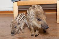 Wildschwein, verwaistes, pflegebedürftiges, in Menschenhand gepflegtes, zahmes Jungtier lebt mit im Haus, 2 Frischlinge spielen im Wohnzimmer, Wild-Schwein, Schwarzwild, Schwarz-Wild, Frischling, Junges, Jungtier, Tierkind, Tierbaby, Tierbabies, Schwein, Sus scrofa, wild boar, pig
