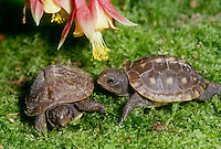 Two 3-toed box turtle babies on mossy ground in garden beneath columbine flowers covered with pollen