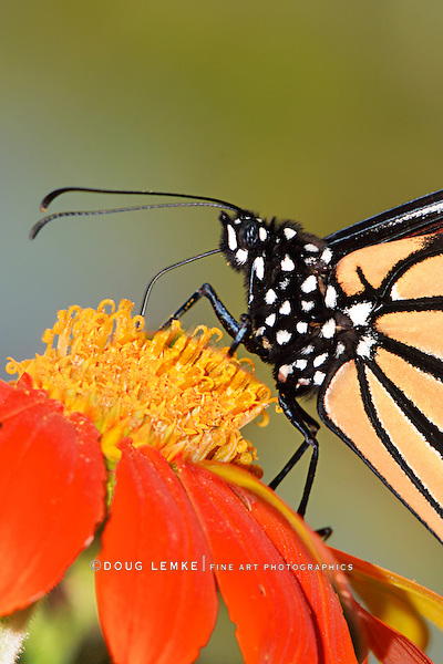 An Extreme Close Up Of A Monarch Butterfly On A Red Flower, Danaus plexippus
