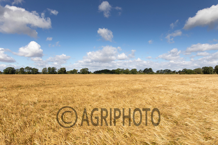 28.7.2020 Spring Barley in Lincolnshire<br /> ©Tim Scrivener Photographer 07850 303986<br />      ....Covering Agriculture In The UK.