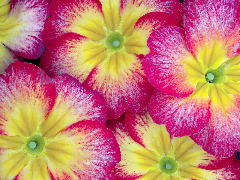 Close up of red and yellow Primrose.
