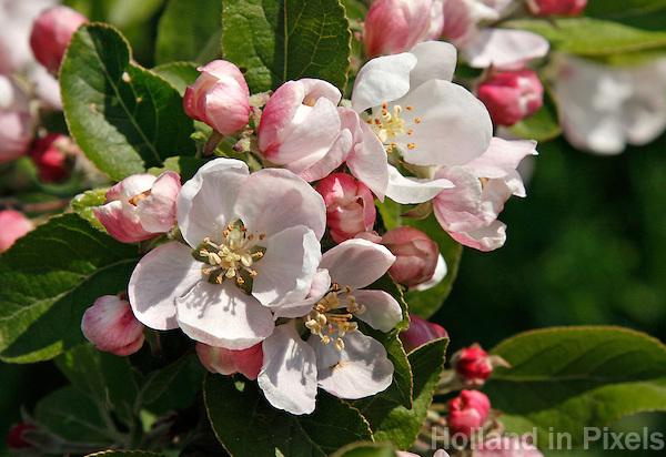 Roze  appelbloesem in de Betuwe