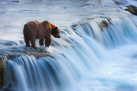 Brown bears fish for salmon at the Brooks River falls in early morning light, Katmai National Park, southwest, Alaska.