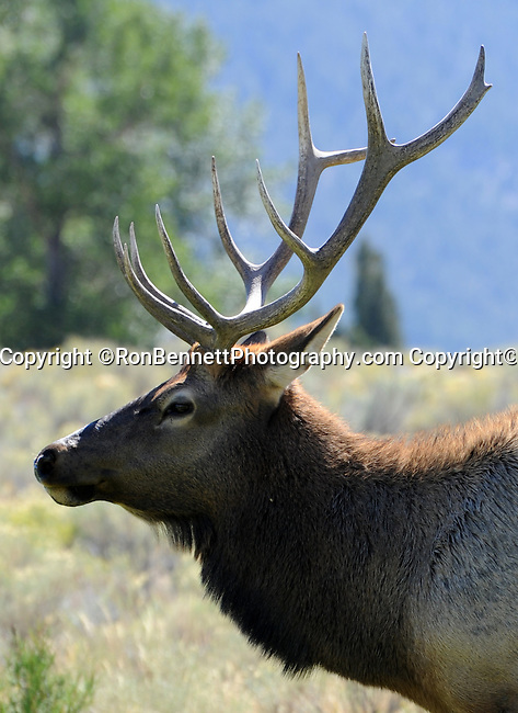 Elk or wapiti Cervus canadensis is one of the largest species of deer in the world, Elk are largest mammals in North America, Elk feed on grasses plants leaves and bark, in Western United States,  Eastern Rocky Mountains, High Plains, least populous state, Cheyenne, Yellowstone National Park, Grand Teton National Park, Devils Tower, Fossil Butte, Oregon Trail, Pony Express, erution of geyser in yellowstone, Crow, Arapaho, Lakota, Shoshone, Fine Art Photography by Ron Bennett, Fine Art, Fine Art photography, Art Photography, Copyright RonBennettPhotography.com ©