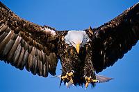 Bald Eagle (Haliaeetus leucocephalus) coming in.