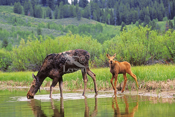 Cow and calf moose along edge of small pond (cow is drinking), Western U.S., June.