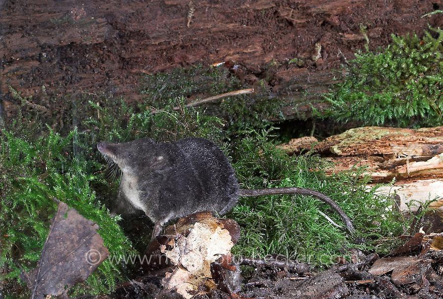 Wasserspitzmaus, Wasser-Spitzmaus, Spitzmaus, Neomys fodiens, Water shrew, Musaraigne aquatique, Crossope