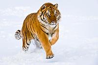 Siberian tiger or Amur tiger, Panthera tigris altaica, running on snow, endangered species