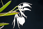 Lady of the Night Orchid, Brassavola nodosa, Panama, Central America, Gamboa Reserve, Parque Nacional Soberania