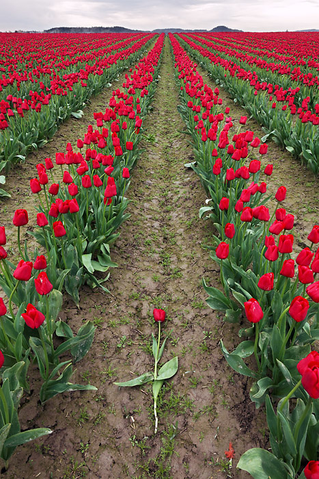 Broken red tulip flower laying between rows of red tulips, Skagit Valley, Skagit County, Washington