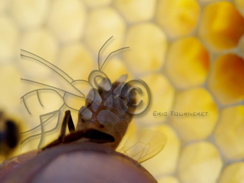 A bee secreting wax scales. The bee has 8 wax glands of which the bee controls the functioning in well-determined, heat and dietary conditions. Only the bees between the ages of 12 to 18 days produce wax.<br /> S&eacute;cr&eacute;tion d&rsquo;&eacute;cailles de cire par une abeille. L&rsquo;abeille poss&egrave;de 8 glandes ciri&egrave;res qui fonctionnent sous la volont&eacute; de l&rsquo;abeille et dans des conditions bien d&eacute;termin&eacute;es de chaleur et d&rsquo;alimentation. Seules les abeilles &acirc;g&eacute;es de 12 &agrave; 18 jours en produisent.