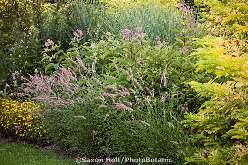 Ornamental grass, Pennisetum orientale 'Karley Rose' flowering in mixed border garden