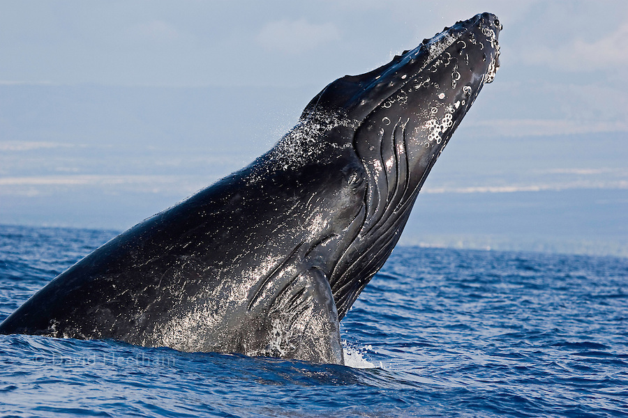 Breaching Humpback whale, Megaptera novaeangliae, Hawaii.