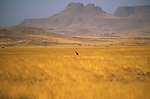 Brandberg granite outcrop mountain in Namibia and Jackal in foreground