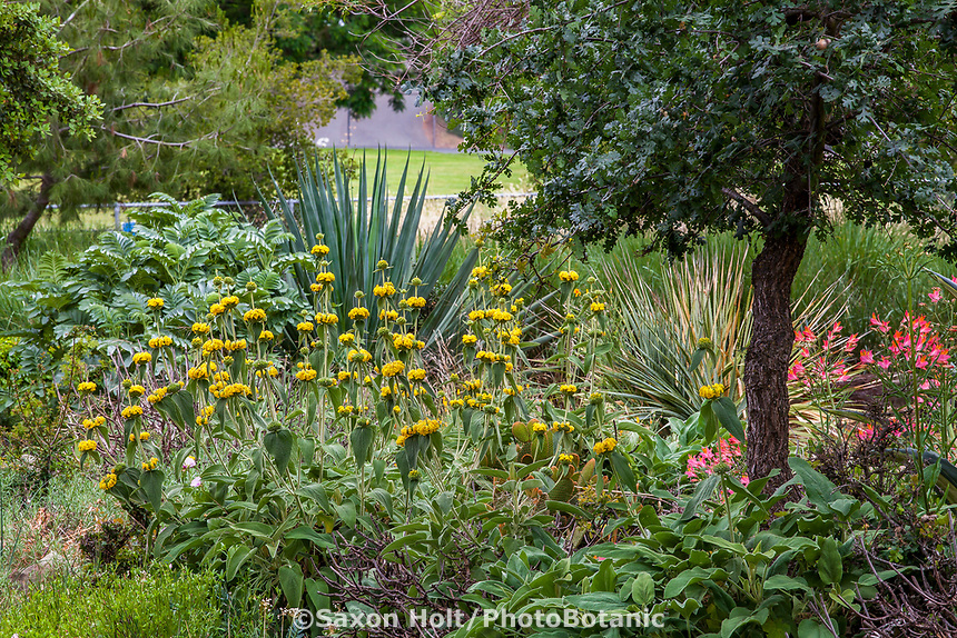 Phlomis fruticosa (Jerusalem Sage) flowering in drought tolerant no summer water garden with Agave, Anigozanthos and Oak tree, Judy Adler Garden, Walnut Creek, California