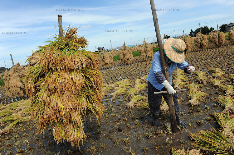 A Japanese female farmer hangs rice on the wooden pole to dry in a traditional way under the sun in a rice field near Hirosaki.