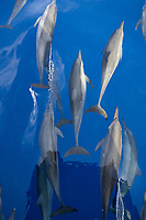 Common dolphins, Delphinus delphis, at the surface, Papua New Guinea