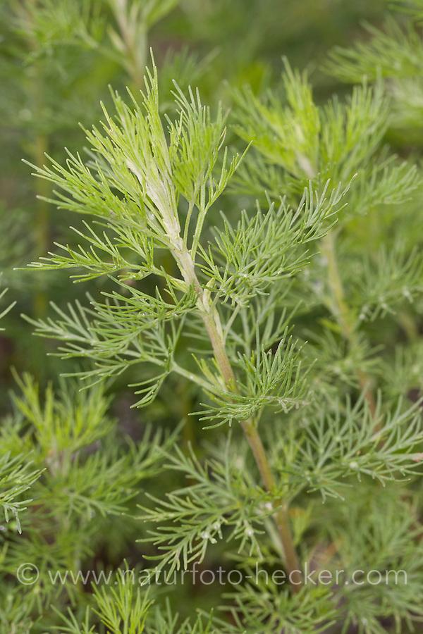 Eberraute, Artemisia abrotanum, southernwood, lad's love, southern wormwood