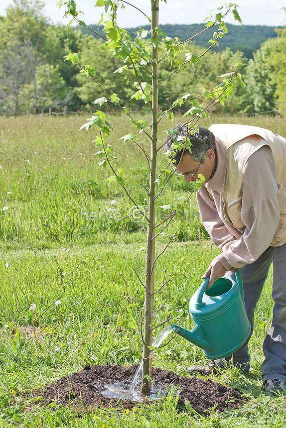 plantation d'un arbre (liquidambar styraciflua) élevé en container : arrosage // Plantation of a tree (liquidambar styraciflua) and watering.