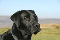 Male Labrador dog's head.