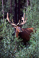 Canadian Rockies, Canada - Bull Elk, Wapiti (Cervus canadensis) with Daisy Flower in Mouth